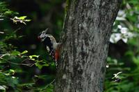 水浴びに来たアカゲラ - 鳥さんと遊ぼう
