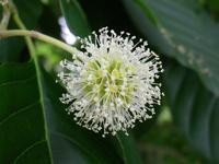 『旱蓮木(カンレンボク)や旃那(センナ)や槐(エンジュ)等の花達~』 - 自然風の自然風だより