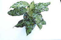 "Aglaonema pictum ""Andaman"" - PlantsCade -2nd effort"