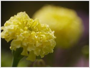 少し風が涼しくなってきました気がします、久しぶりに庭の花にピントを合わせてパチリ - さくらおばちゃんの趣味悠遊