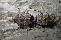 キマダラカメムシ Erthesina fullo - 写ればおっけー。コンデジで虫写真