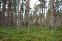 ブルーベリーの国 フィンランド - Kippis! from Finland