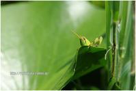 睡蓮畑でつかまえて #006 - ツチイナゴは見た - - ルリビタキの気まぐれPATA*PATA