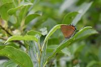 富士山麓の草原探索その2 ミヤマカラスシジミとミヤマシジミ(2017/07/31) - Sky Palace -butterfly garden- II