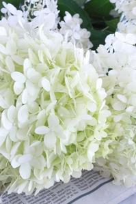 limelight hydrangeas - flavor of my life