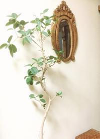 【観葉植物】でお部屋の印象を活性化 - ルーシュの花仕事