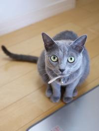 猫のお留守番 ビビちゃん編。 - ゆきねこ猫家族