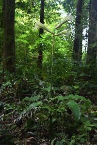 オオウバユリ - 鹿深の森