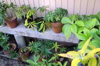 夏の原種クリスマスローズ - リリ子の一坪ガーデン