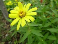 ウォーキングの径道で見かけた花 - 花 フロール