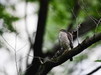 今季はたくさん・・・ツミ③(雛成長編) - 鳥見んGOO!(とりみんぐー!)野鳥との出逢い