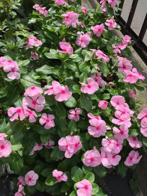庭の花と水族館 - 春&ナナと庭の薔薇