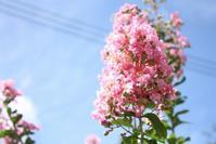 百日紅 - バラの庭でお茶をどうぞ