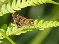 ホシチャバネセセリ・ホソバセセリ - 一寸の虫にも五分の魂