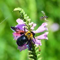 クマバチがカクトラノオで大忙し - 『私のデジタル写真眼』