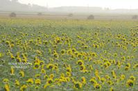 束の間のひまわり畑 - ekkoの --- four seasons --- 北海道