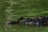 カイツブリ 08月11日 - 旧サンヨン(Nikon 300mm f/4D)野鳥撮影放浪記