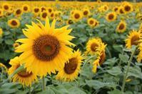 那須 壮観な百万本のヒマワリ畑 ~今年は試験的にオープン~ - 日々の贈り物(私の宇都宮生活)