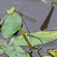 イトトンボ比較画像 - 昆虫(動植物)撮影記録
