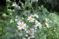 ■ 雨の中の草花 (2)   (シラヤマギク、ヤブラン、ツリガネニンジン) - 舞岡公園の自然2