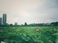 上野のハス池 - うつわ愛好家 ふみの のブログ
