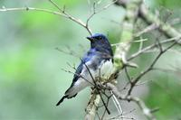 小枝が邪魔ですがオオルリ - ベジタブルpartⅤ(鳥と共に日々是好日)