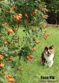 ローズヒップ、食べてみようかな - Kyoko's Backyard ~アメリカで田舎暮らし~