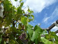 終戦の日 豊作の葡萄と共存共栄の道 - journey