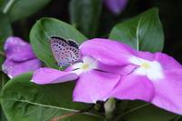 ちっちゃな蝶と、シュウメイギク - 子猫の迷い道Ⅱ