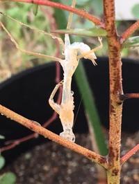 「カマキリの脱皮」 - 自然卵農家の農村ブログ 「歩荷の暮らし」