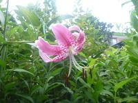 カナコユリ咲く - 風の便り