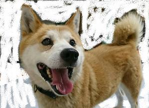 新規柴犬ミックスの男の子の里親さん、お預かりさん、緊急募集しています!!! - 子豚たちの反乱    ~保護犬達の幸せさがし~