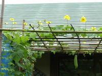 ヘチマの花/雨の日の楽しみ方 - 千葉県いすみ環境と文化のさとセンター