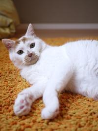 猫のお留守番 咲くん編。 - ゆきねこ猫家族