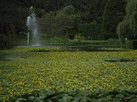 涼しげな水辺の花畑 アサザ - 花散歩写真 in Vancouver