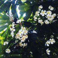 プルメリアの花の香り - Nature Care
