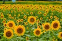 向日葵・凛々 - 木の葉のオト