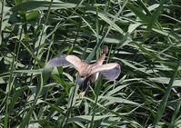 ヨシゴイ - 写真で綴る野鳥ごよみ