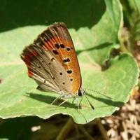 #チョウ 『紅小灰蝶』 Lycaena phlaeas - 自然感察 *Nature * feeling*