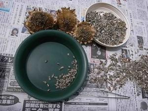 ミニひまわりの種 -