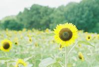 向日葵 - photomo