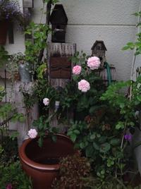 二番花咲いています - 薔薇に魅せられて