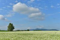 蕎麦畑の風景① - Photo Of 北海道大陸