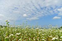 蕎麦畑の風景② - Photo Of 北海道大陸