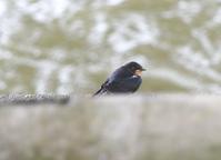 今朝も雨、、 - 西多摩探鳥散歩