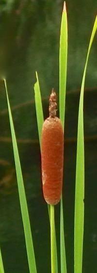 #日本最古の薬用植物『小蒲』 Typha orientalis - 自然感察 *Nature * feeling*
