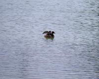 在庫から~水辺の鳥いくつか~ - 星の小父さまフォトつづり