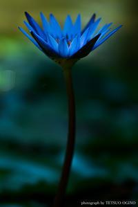 睡蓮の花(青) - 眼にみえない思いをうつす