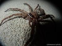 脚高蜘蛛【アシダカグモ】2017/07/11, 18:59:55 - 神は細部に宿る