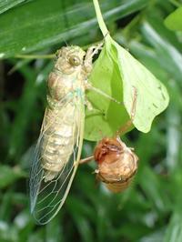 ツクツクボウシ? Meimuna opalifera - 写ればおっけー。コンデジで虫写真